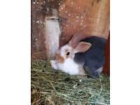 Lovely cross breed baby rabbits