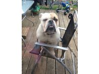 Old Tyme cross British bulldog looking for a new home