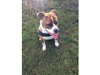 Lola- Old English Bulldog x American Bulldog