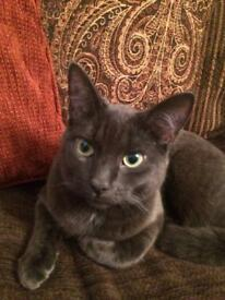 2 years old Russian Blue Cat