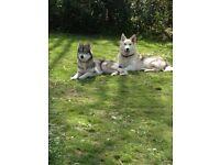 sibiran husky cross germanshephard puppys
