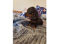 Dachshund miniature boy
