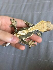 Crested Gecko with tank an accesorries