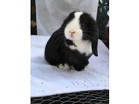 Black/white minilop bunny.