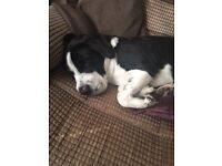 Beagle x shar pei for sale