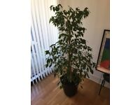 Potted large 5.4 foot (165cm) tall Indoor Plant Benjamina Ficus (Weeping Fig)