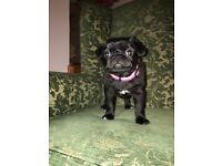 Last pug puppy left KC reg Girl