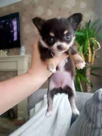Tiny full pedigree chihuahua puppies