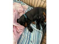 Miniature dachshund boys