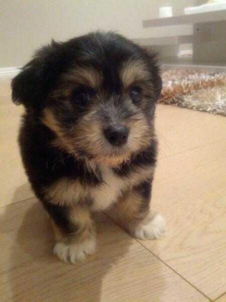 Maltese x Shih-Tzu puppy is up for grabs!!!! Dolls Point Rockdale Area