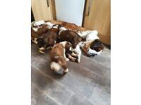 6 x St Bernard Puppies KC Registered 5x Girls 1xBoy