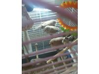 Two zebra finches for sale