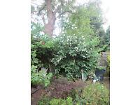 Mock Orange bush/tree