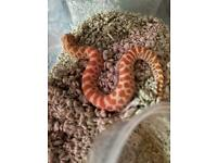 Extreme red albino hognose snake