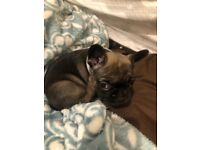 FRENCH BULLDOG PUPPIES (chunky) GIRLS