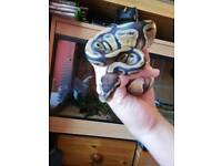 9 month old male ball/royal python