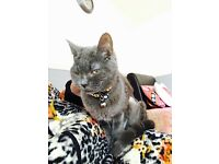 I have kittens Domestic short haired grey microchipped