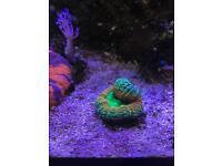 Multi colour Lobo - Marine - Corals -