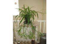 Healthy, organically grown trailing indoor flowering Spider Plant (Chlorophytum)