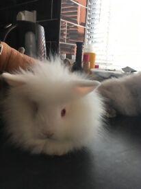 Cutie x breed lion head rabbits