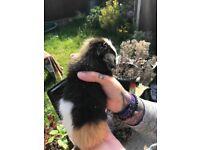 Stunning Male guinea pigs