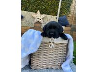 Labrador puppies ready for viewing now