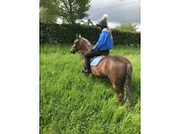 Horses and ponies for sale in Edinburgh - Gumtree