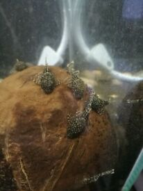 Young Bristlenose pleco (algae eaters), tropical fish, 1-1.5 inch - for sale