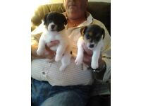 Jack russell pups
