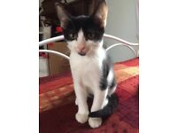 Lovely Black and white male kitten in need of a new home