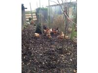 Red laying hens for sale