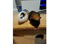 2 male guine pigs with everything
