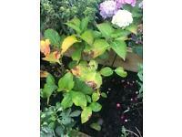 Hydrangea mophead garden plant white or pink