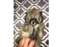 Pomeranian Dogs Puppies For Sale Gumtree