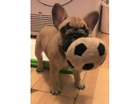 French Bulldog Bitch Puppy for sale