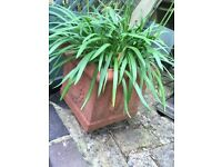 Terracotta pot Agathanpas plants