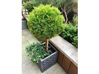 Evergreen pot and plants, 4 available, £25 each
