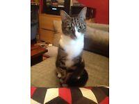LOST CAT - Tabby & White - Petherton Road/Green Lanes, N5/N16