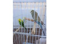 3 budgies with XL cage!