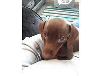 Male chocolate miniature dashound pup