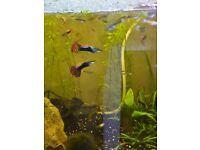 Guppies, Betta fish, Mollies, red cherry shrimp, assassin snails and plants