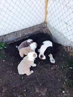Olde English registered puppy's