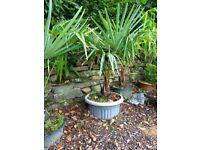 Palm tree Trachycarpus Fortuei