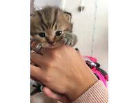 2 X Full Pedigree BSH kittens for sale