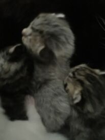 Gorgeous blue grey tabby ginger and white kittens for sale