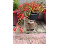 10 weeks old bunnies for sale