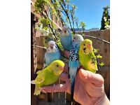 Young hand tamed budgies (Belfast)