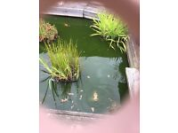 Pond fish 11 very healthy various types including coy gold etc
