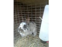 A lovely little boy rabbit looking for loving home.