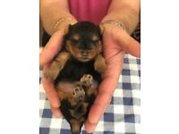 Mini Yorkshire Terrier puppy